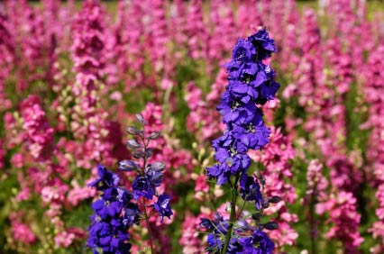 Larkspur Flower