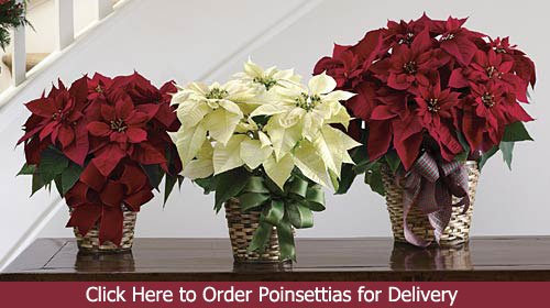 Poinsettia Plants - Click Here to Order Poinsettias for Delivery