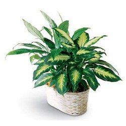Spathiphyllum and Dieffenbachia