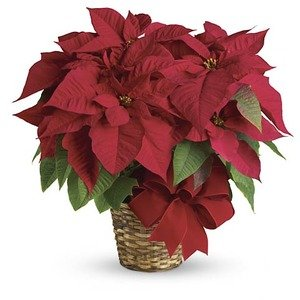Colorado co flower delivery same day 1st in flowers poinsettia plant mightylinksfo
