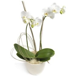 Most Wanted White Phalaenopsis Orchid