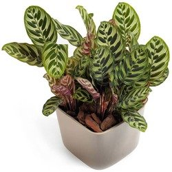 Tropical Calathea