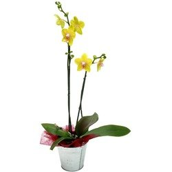 2 Yellow Orchid Branches