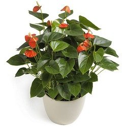 Hot Anthurium