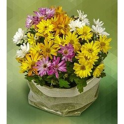 Basket of Daisies Plants