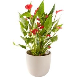 Anthurium plant including pot