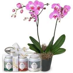 Deep Pink Orchid (phalaenopsis) In Cachepot With Gottlieber Tea Gift Set