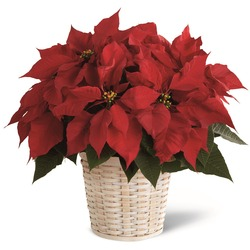 The Red Poinsettia Basket by FTD (Large)