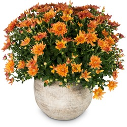 Chrysanthemum (orange) in a cachepot