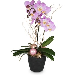 Magical orchid (Phalaenopsis)