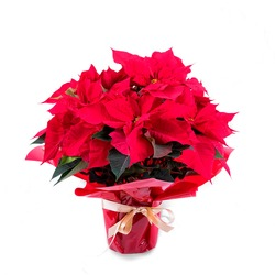 Individual Poinsettia plant decorated
