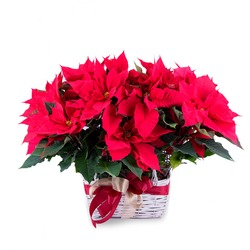 Basket of two Poinsettias plants