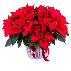 Special Symphony of four plants of Poinsettias