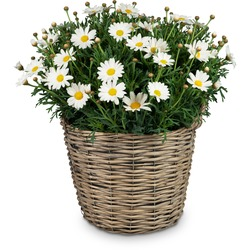 Airy & Light (potted marguerite)