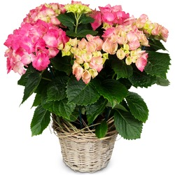With Love (pink hydrangea for the cemetery)