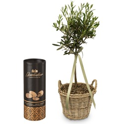 Summer Dream (miniature olive tree) with Gottlieber cocoa almonds