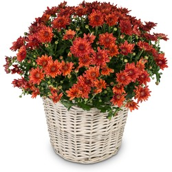 Love and Memory (red chrysanthemums for the cemetery)
